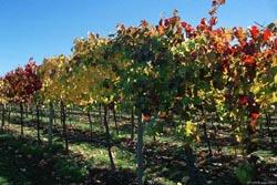 Carneros Vineyard Photo